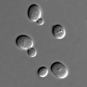 800px-S_cerevisiae_under_DIC_microscopy